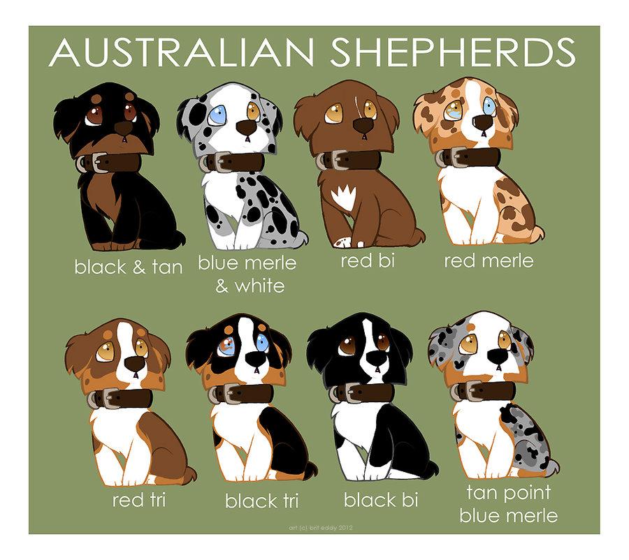 australian_shepherd_color_patterns_by_briteddy-d53qaox